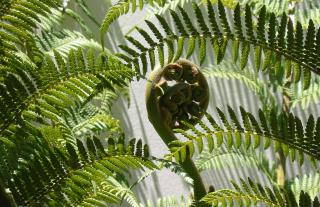 Fern koru amongst open fern plants.