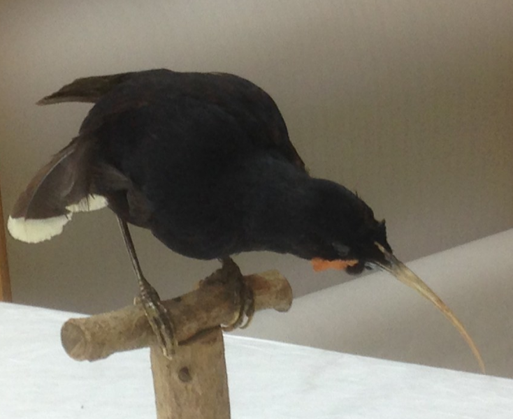 Taxidermy huia bird perched on a wooden stand, head pointed down towards the ground.